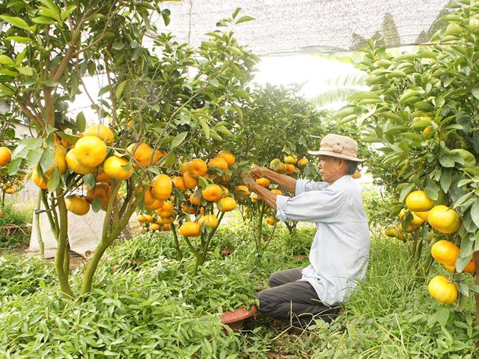 Vườn quýt hồng trĩu quả. Ảnh: Văn hóa Lai Vung.